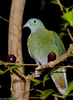 A female Black-naped Fruit-Dove (Ptilinopus melanospilus) 2