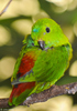 Blue-crowned Hanging-parrot (Loriculus galgulus)