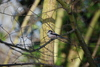 Long Tailed-Tit