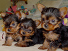 Owersome lovely yorkie puppies for seeking for new home free