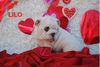 Very sweet English Bulldog puppies