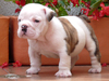 Adorable English Bulldog Puppies Ready