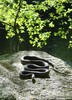 Black Ratsnake (Pantherophis obsoletus obsoletus)