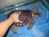 pignose turtle