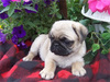 Rippling Springs Pug Puppies