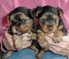 cute yorkies puppies for free adoption