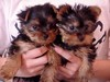 Beautiful Yorkie puppies for adoption,