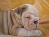 Healthy Twins English Bull Dog Puppies Available Now!!!!!!!!!!!
