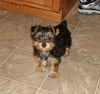 Outstanding Tea Cup Yorkie Puppy In search of a New Home