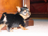 Tea Cup Yorkie Puppy For Adoption