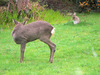 Roe deer and rabbit