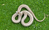 Northern Brown Snake 0276764