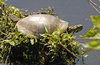Eastern Painted Turtle (Chrysemys picta picta)004