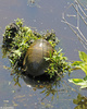 Eastern Painted Turtle (Chrysemys picta picta)012