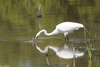 Great Egret (Ardea alba)001