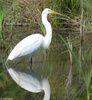 Great Egret (Ardea alba)003