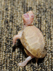 Albino Eastern Box Turtle (Terrapene carolina carolina)100
