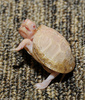 Albino Eastern Box Turtle (Terrapene carolina carolina)102