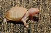 Albino Eastern Box Turtle (Terrapene carolina carolina)105