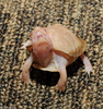 Albino Eastern Box Turtle (Terrapene carolina carolina)107