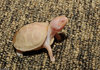 Albino Eastern Box Turtle (Terrapene carolina carolina)110