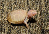 Albino Eastern Box Turtle (Terrapene carolina carolina)112