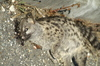 unknown cat found dead adjacent to railway line SW France