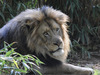Lion (Panthera leo)001