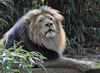 Lion (Panthera leo)002