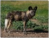 Cape hunting dog male