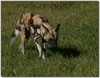 Cape hunting dog female