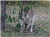 Eastern grey kangaroo 1