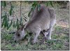 Eastern grey kangaroo 2