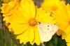 Eastern Pale Clouded Yellow (Colias erate)
