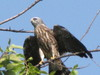 young mississippi kite