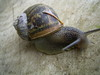 dutch snails: helix aspersa