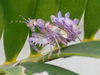 Immature Spiny Flower Mantis from South Africa
