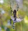 Black and Yellow Argiope (Argiope aurantia) with Blue Dasher (Pachydiplax longipennis)