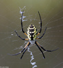 Black and Yellow Argiope (Argiope aurantia)