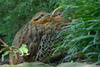 Mountain Bamboo-partridge (Bambusicola fytchii)