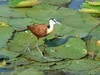 Jungle Animals: African Jacana