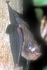 Jungle Animals: Bat