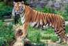Jungle Animals: Bengal Tiger - Panthera tigris tigris