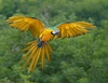 Jungle Animals: Blue-and-yellow Macaw
