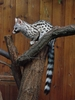 Jungle Animals: Common Genet - Genetta genetta