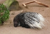 Jungle Animals: Crested Porcupine
