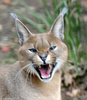 mad cat -- Caracal (Caracal caracal)