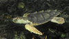 Loggerhead Sea Turtle (Caretta caretta)701