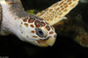 Loggerhead Sea Turtle (Caretta caretta)702
