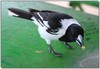 Pied butcherbird - Cracticus nigrogularis (adult)